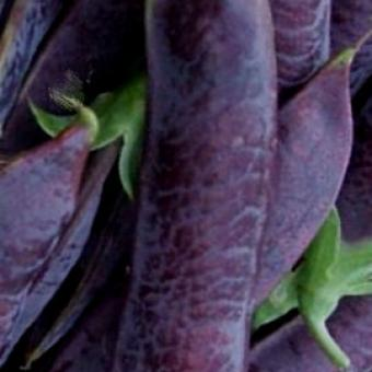 Heirloom garden seed Blauwschokkers soup Pea