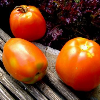 Bochata Tomato
