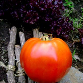 Brutus Maximum tomato seeds