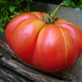 Heirloom tomato seed cannina