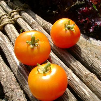 Quedlinburger Fruhe Liebe Heirloom Tomato
