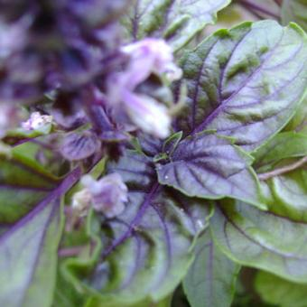 Purple Leaf Basil Seeds