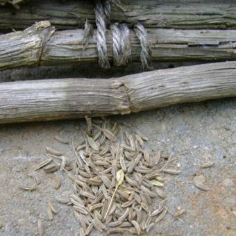heirloom herb seed caraway