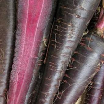 Deep Purple Carrot F1