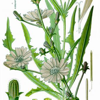Chicory Seeds