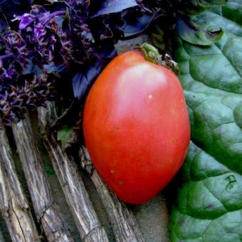 Favorite Holiday Tomato Seeds