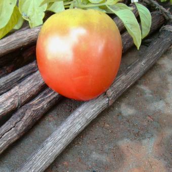 Firesteel tomato seeds