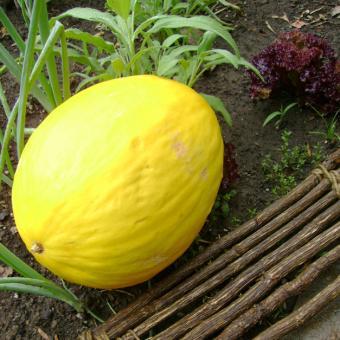 Gold Rind Honeydew Melon