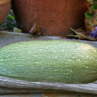 Gray Zucchini Seeds