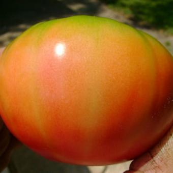 Gulliver Tomato Seeds
