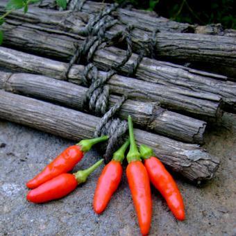 Chico de Quito Rare Pepper Capsicum frutescens