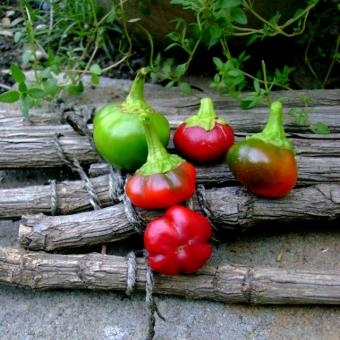 Pimento Bola Pepper Spanish heirloom
