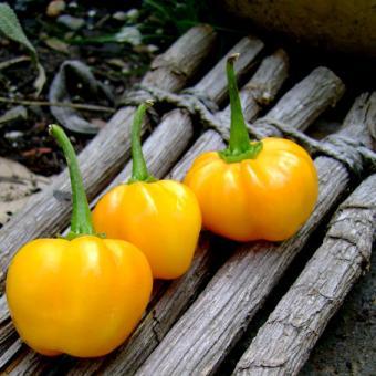 Scotch Bonnet Pepper Seeds