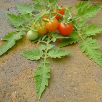 Quirigua tomato seeds