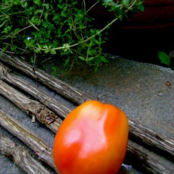 Tomato Sarajevo M-17