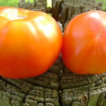 Shuntukski Giant tomato seeds