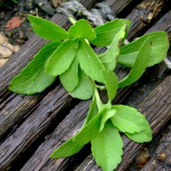 herbal natural sweetener Stevia Herb Seeds leaves