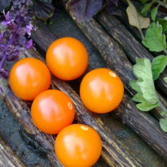 sungold select II 2 seed