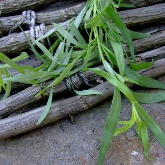 Herb seed Tarragon
