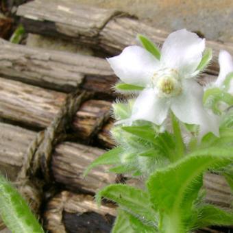 White Borage heirloom herb seeds