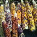 Cherokee Popping Corn Seeds open pollinated