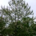 Paulownia Tree (Paulownia tomentosa) seeds
