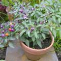 Filius Pepper ornamental heirloom seeds