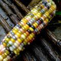 Glass Gem Corn seeds for sale