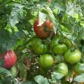 Rare Joe's Portuguese Tomato Seeds