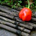 Capsicum baccatum pepper Conquistador Seeds