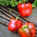 Que Mein Pepper Seeds Shanghai Bell Pepper china chinese pepper