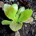 Red Arrow Lettuce rare heirloom seeds