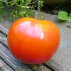 heirloom tomato Kauai University of Hawaii seeds