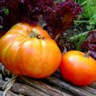 King of the Giants heirloom tomato seeds
