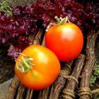 Pearl of Siberia Heirloom Tomato Seeds