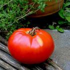 Sekai Ichi heirloom tomato