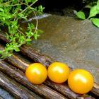 Hybrid Tomato Sungold Sun Gold Cherry