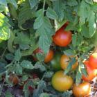 Tigrus Karalis tomato seeds