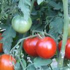 Vrbicanske Nizke Tomato Seeds