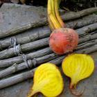 Golden Detroit Beet heirloom garden seed