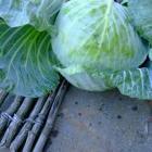 Golden Acre Cabbage heirloom garden seed