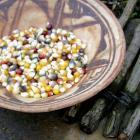 heirloom landrace popcorn popping corn