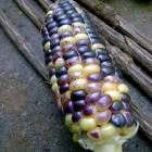 Un-named corn project