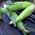 Sugar Buns SE Corn F1