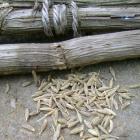 Cumin herb seed