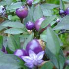 Filius Pepper seeds