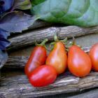 Finike tomato seeds