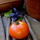 Gordo tomato seeds