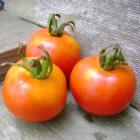 Gribovsky tomato seeds