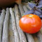 Odessa tomato seeds